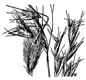 Poverty Oatgrass /