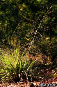 Purple Lovegrass /