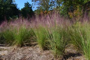 Purple Muhly Grass, Sweetgrass, Dune Hairgrass, Basket Grass /