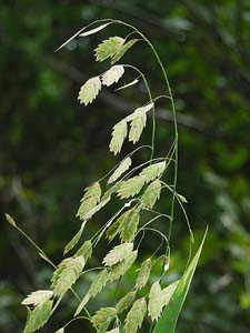 River Oats, Upland Sea Oats,