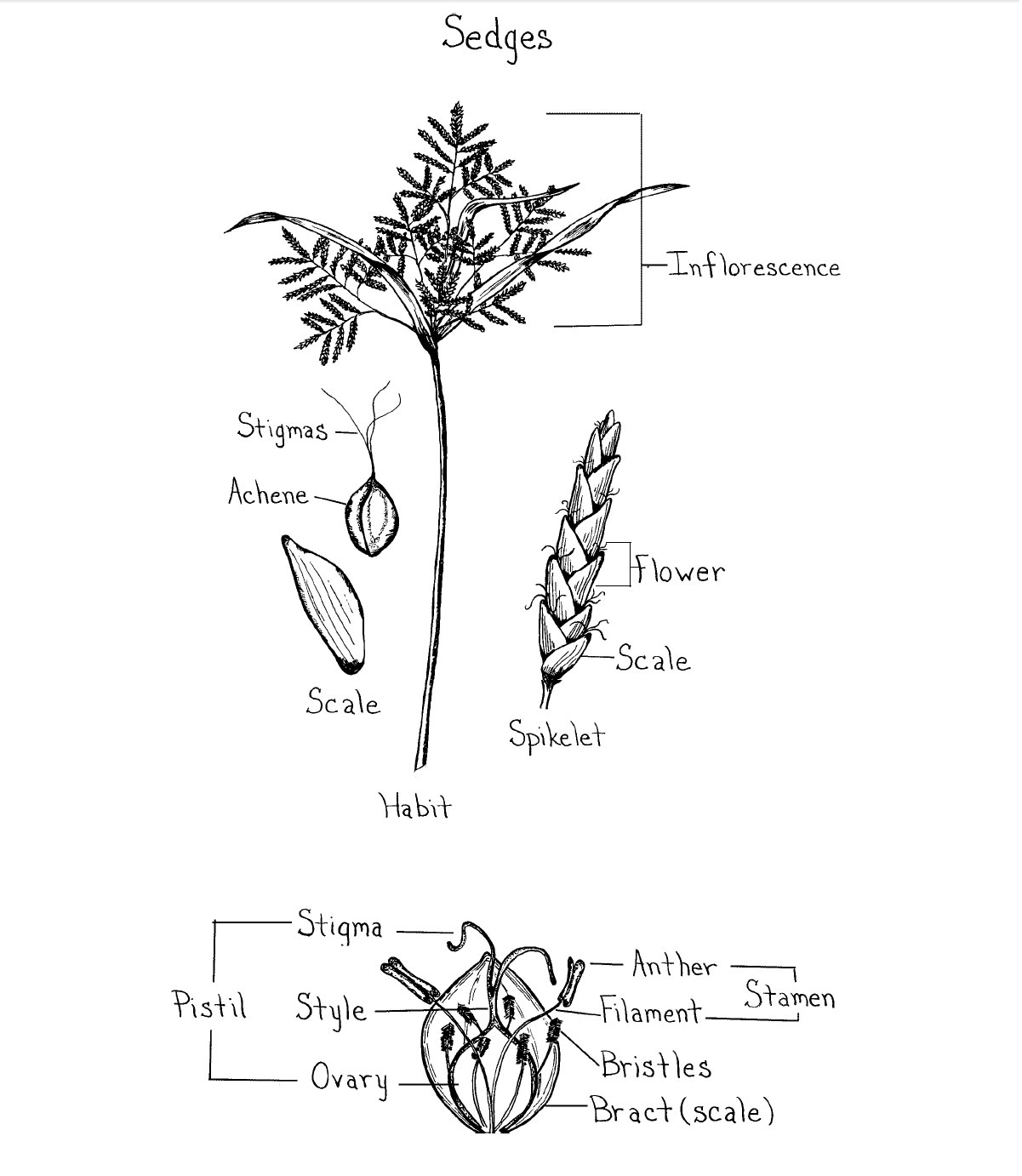 Figure 3. Sedge Floral Parts (Credit: Norman Melvin, USDA Cold Region Research and Engineering Laboratory).