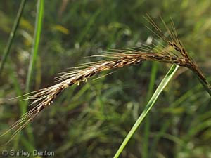 Slender Indian Grass /