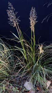 Yellow Indian Grass /