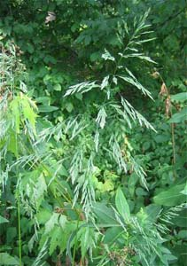 Sweet Wood Reed, Stout Wood Reed /