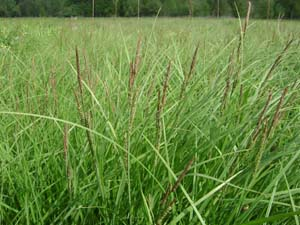 Tussock Sedge, Upright Sedge /