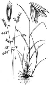 Two-flower Melicgrass /