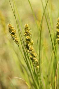 Yellowfruit Sedge,