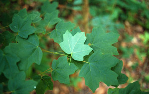 Florida or southern sugar maple green leaves