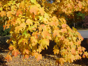 Florida or southern sugar maple, fall color