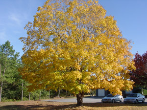 Florida or southern sugar maple tree in landscape