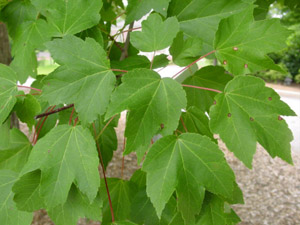 Native plants for georgia part i trees shrubs and woody vines green red maple leaves mightylinksfo