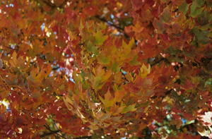 sugar maple leaves in fall