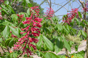 Red buckeye flowers and foliage
