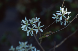 Downy serviceberry flowers
