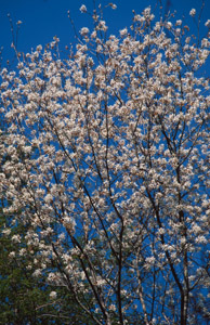 Downy serviceberry tree in spring