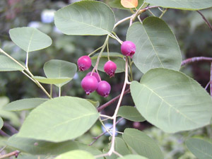 Downy serviceberry berries and foliage