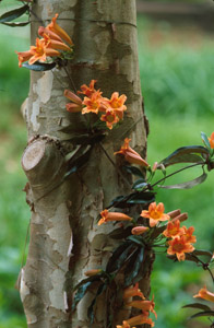 Crossvine flowers and foliage