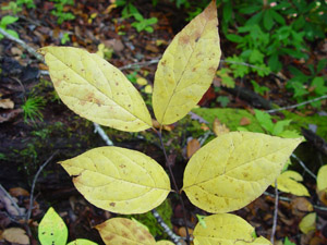 Sweetshrub fall leaf color