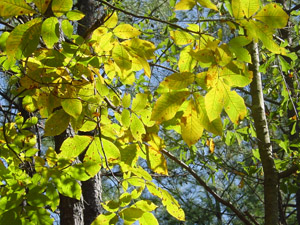Hickory, fall color