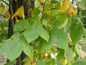 Pignut hickory leaves