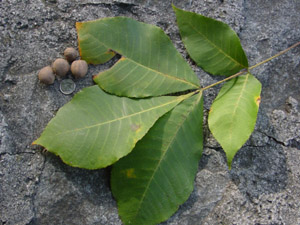 Pignut hickory leaves and nuts