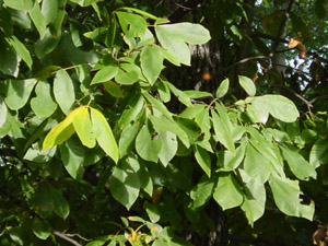 mockernut hickory leaves