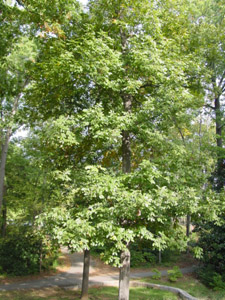 mockernut hickory tree in landscape