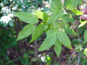 Native Plants for Georgia Part I: Trees, Shrubs and Woody