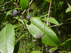 Fringetree or Grancy-Greybeard leaves and fruit