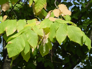 American Yellowwood leaves