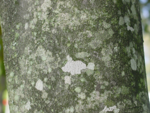 Native plants for georgia part i trees shrubs and woody vines american yellowwood bark mightylinksfo