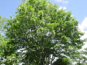 American Yellowwood tree canopy