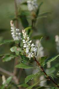 Black Titi, Buckwheat Tree flowers