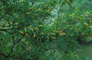 Black Titi, Buckwheat Tree yellow flowers