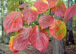 Flowering Dogwood red leaves
