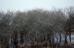 Mayhaw tree in marshy area
