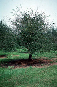Mayhaw tree in orchard