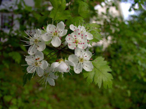 Parsley Hawthorn flowers