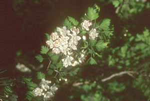 Parsley Hawthorn flowers and foliage