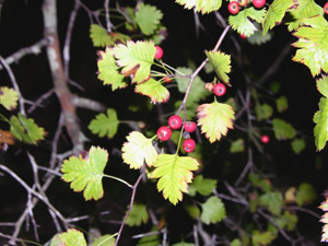 Parsley Hawthorn berries