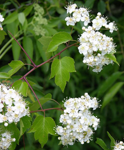 Washington Hawthorn flowers and leaves