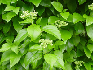 Climbing Hydrangea flowers and foliage