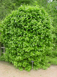 Climbing Hydrangea in the landscape