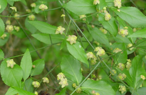 Strawberry-bush flowers and foliage on branch