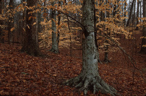 American beech, fall color