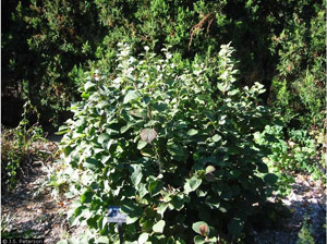 Dwarf Fothergilla in the landscape