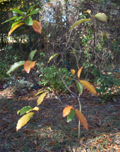 Carolina buckthorn, fall color