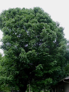White ash tree canopy