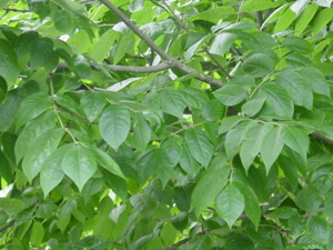 White ash leaves