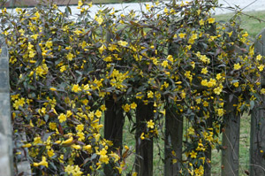 Carolina Yellow Jessamine in the landscape